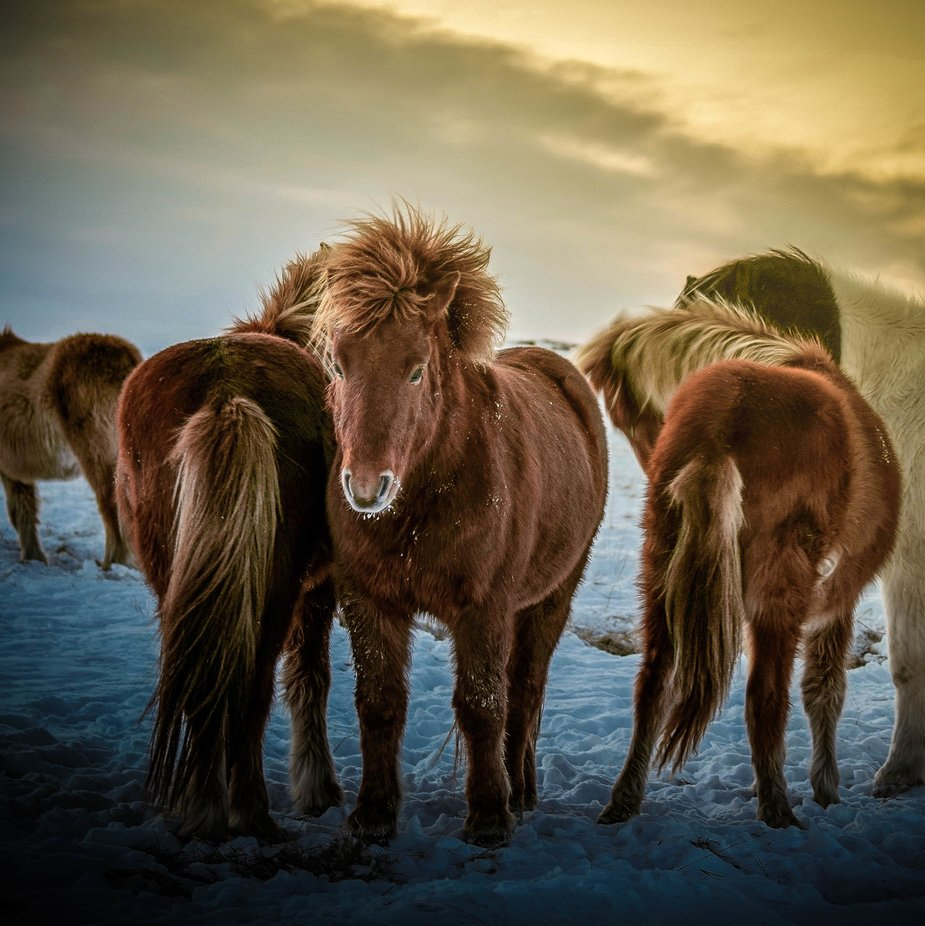 Warming rays on the backs of these Icelandic horses by LD23PHOTOGRAPHY - Monthly Pro Photo Contest Vol 44