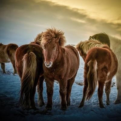 Warming rays on the backs of these Icelandic horses