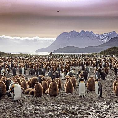 Dawn at King Penguin Rookery, South Georgia Island, Antarctica