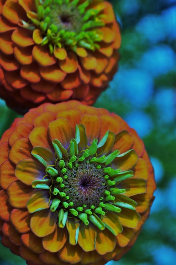Editing flowers (zinnias) from the backyard- sunset colors for my summertime wedding!