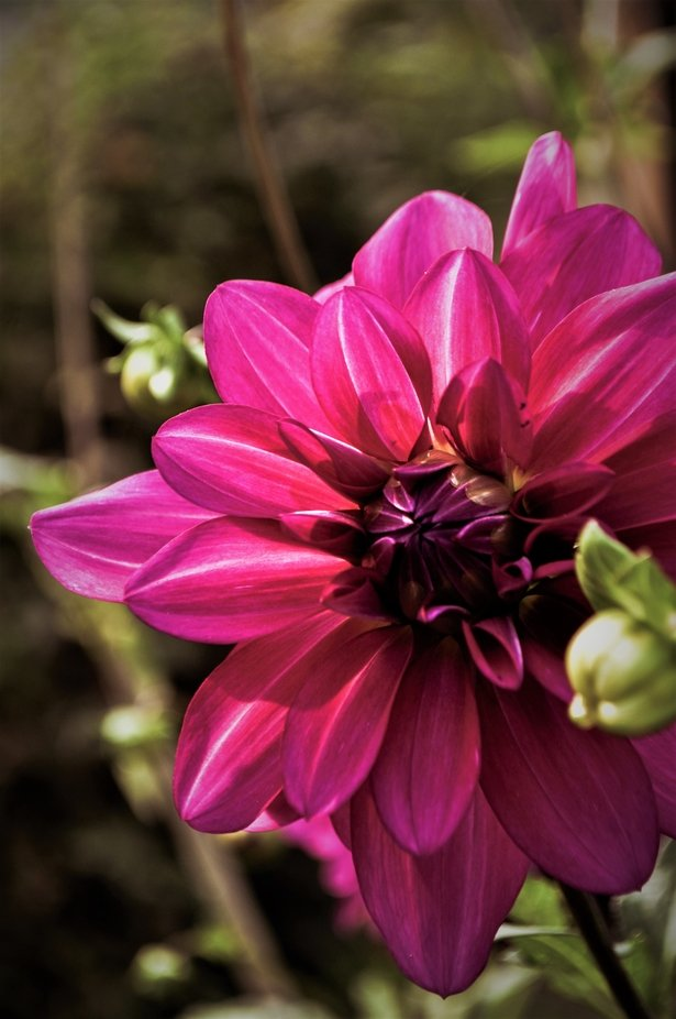 Some of the dahlias in the garden only grew about 3 feet tall and still had full blossoms!