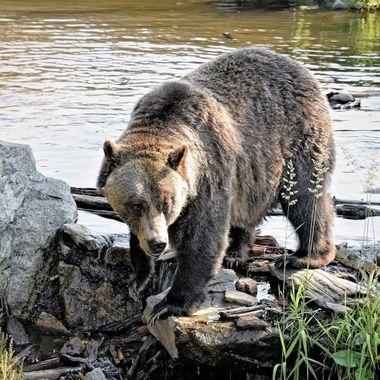 Brown Bear (2) - Grouse Mountain, Vancouver, Canada