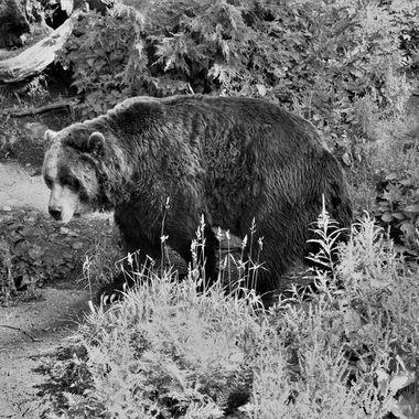 Brown Bear (2) in Black & White