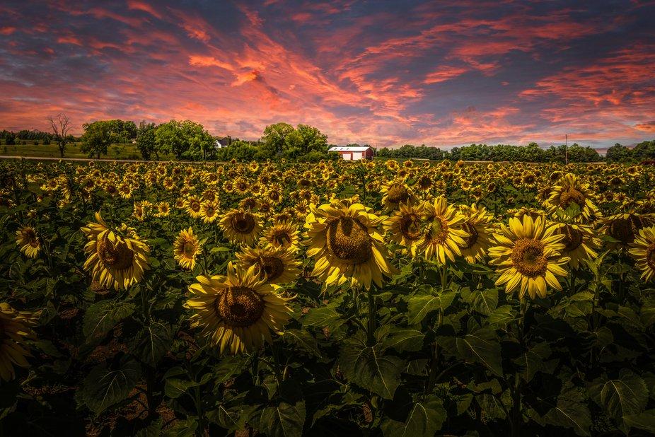 Fire Sky Over Sunflower Fields