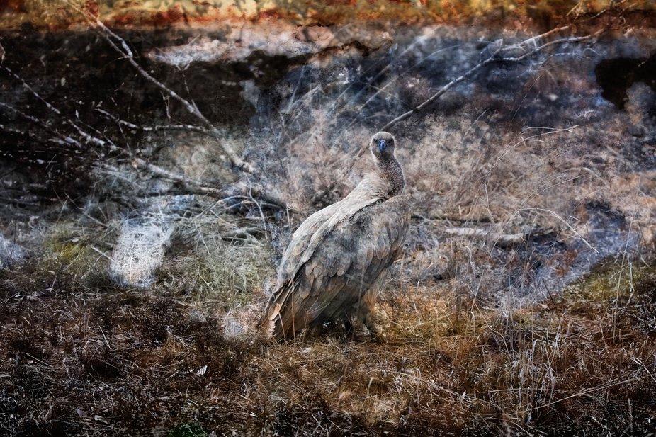 Vulture Texture