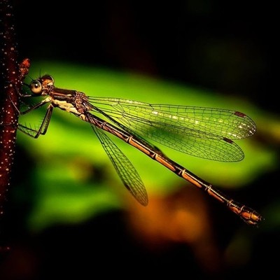 Spotted Spreadwing ,a damselfly, in the evening light.  #trailsend #spottedspreadwing #damselfly #insects #insectphotography #macro #macrophotography #outthebackdoor #backyardnature #canon_photos #canonphotography #pocket_insects #raw_insects #naturyst #n