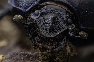 Geotrupes spiniger face stack