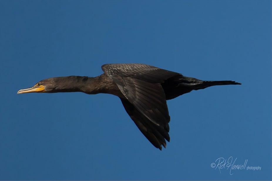 Double-Creasted Cormorant-0290-3