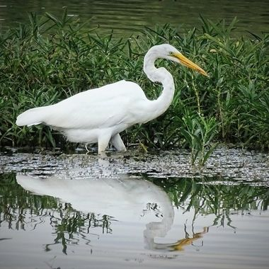 Great Egret stroll