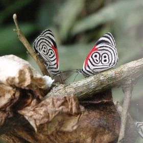 Beautiful Butterflies living near the Iguazu Waterfall at the Brazilian and Argentina border