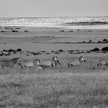 Zebra and Topi Grazing in B and W