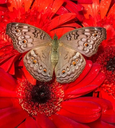 Papillon on Red