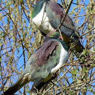 Kereru  N.Z.(wood pidgeon)