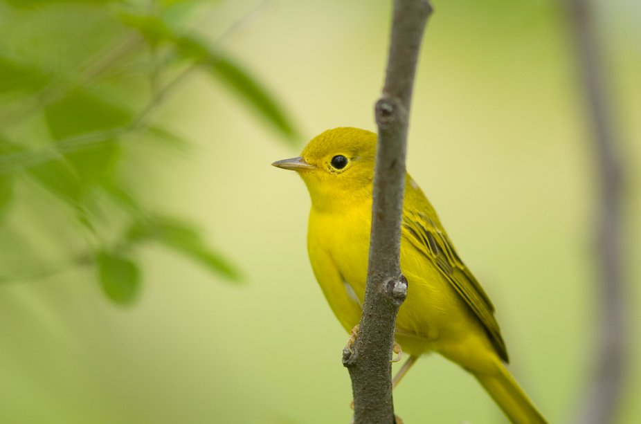 A cute little female Yellow Warbler spotted at the Lachine Rapids Park.  Nikon D2H; AF Nikkor 300mm F4