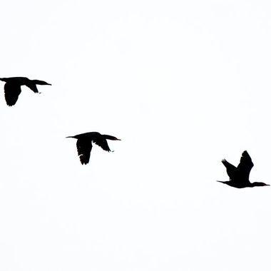 Three cormorants flying together.