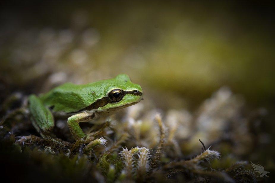 Macro baby Tree frog