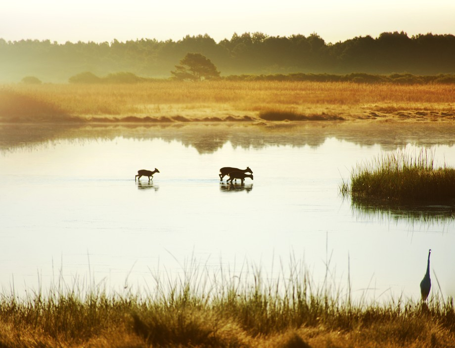 Sika deer cross over the water quietly in the early am sunlight