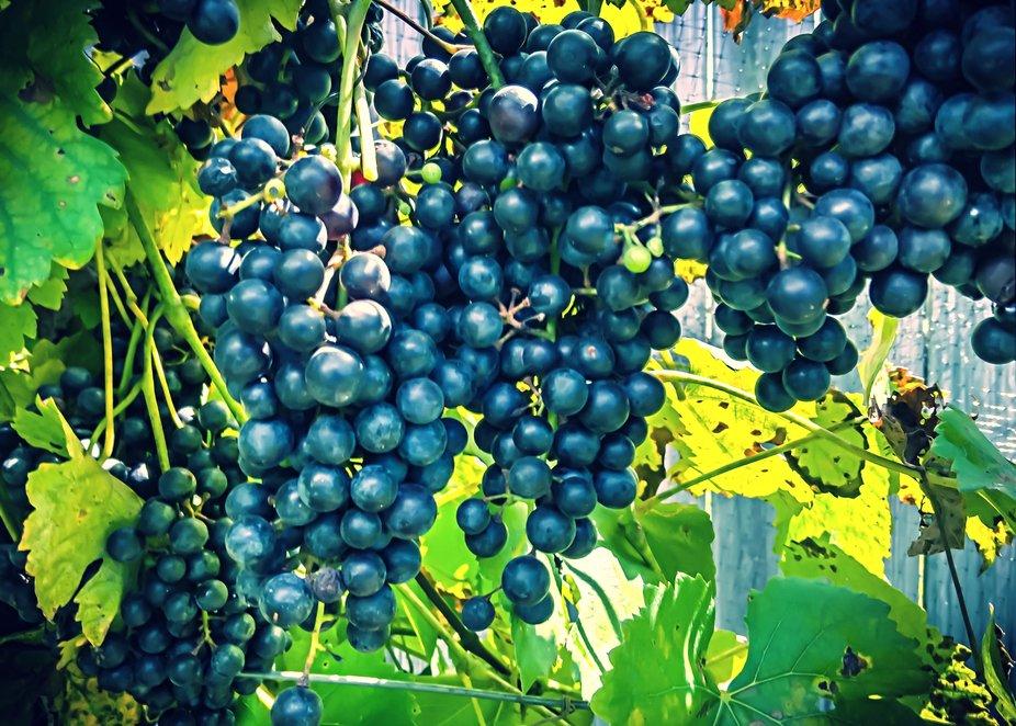 Black Spanish Grapes