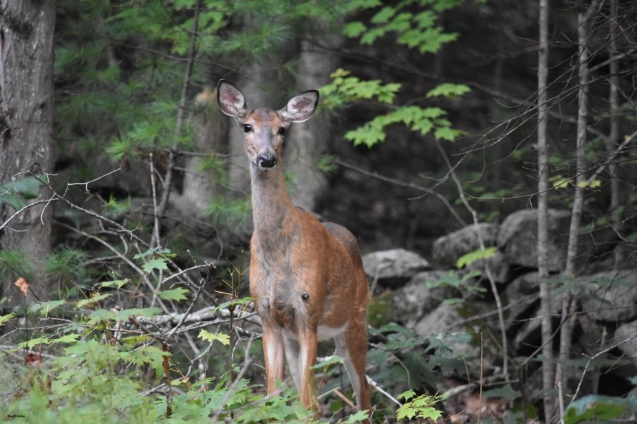 doe stepping up to side of road