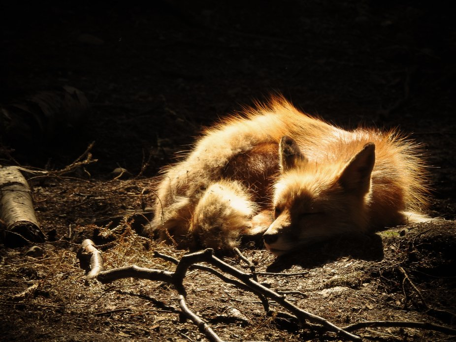 This fox was basking in the sun on a breezy day in Alaska.