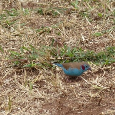 Red Cheeked Cordon-bleu