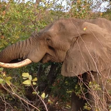 One tusked elephant. Kruger National Park SOUTH AFRICA. Taken on honeymoon