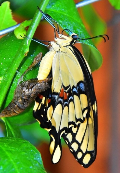 Giant Swallowtail named PIPS!