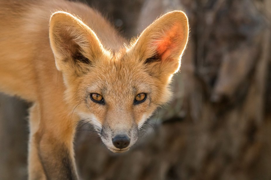 This young fox and two of his siblings lived in a den by a creek that runs by our home. I was abl...