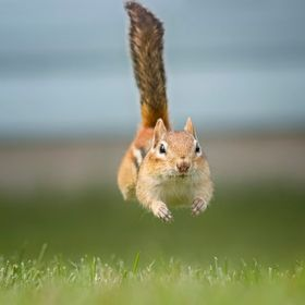 A Chipmunk in Full Sprint (3)