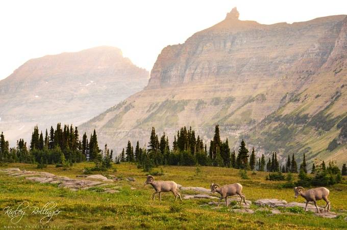 I found these guys walking along the trail to Hidden Lake in Glacier National Park.