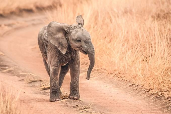 Baby Elephants in the Serengeti  by hartmanc10 - Celebrating Earth Day Photo Contest 2019