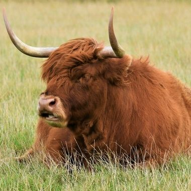 Highland Cow relaxing in the Field.