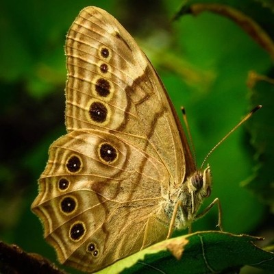 Northern Pearly-eye is a lover of shady woodlands.  #trailsend #northernpearlyeye #butterfly #macro #butterflyphotography #macrophotography #outthebackdoor #backyardnature #canon_photos #canonphotography #pocket_insects #raw_insects #naturyst #naturalnewy