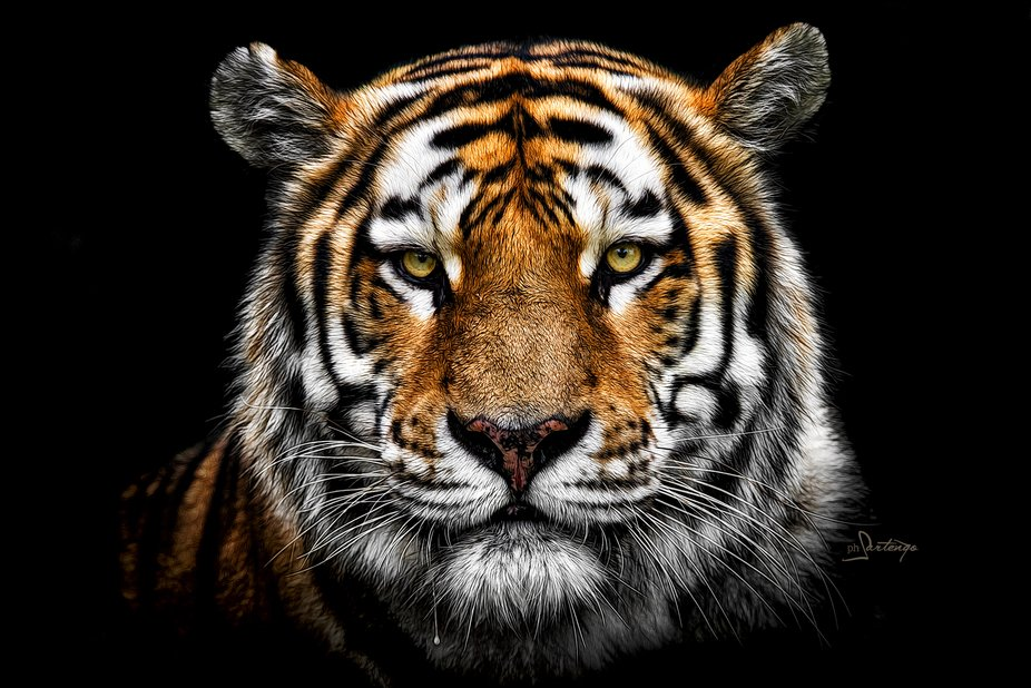 Face to face. Pure emotion to cross the big head and the penetrating gaze of the wonderful big cat.