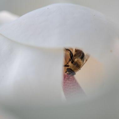 Bumble Bee in Magnolia Blossom, Darnestown, MD. DSC_1592-2