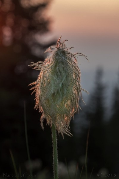 Sunset Anemone