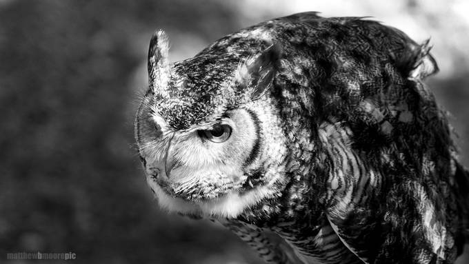 Great Horned Owl by matthewbmoore - Social Exposure Photo Contest Vol 17
