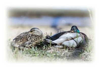 Brian_Mallard Duck Pair 1 LG_042318_2D