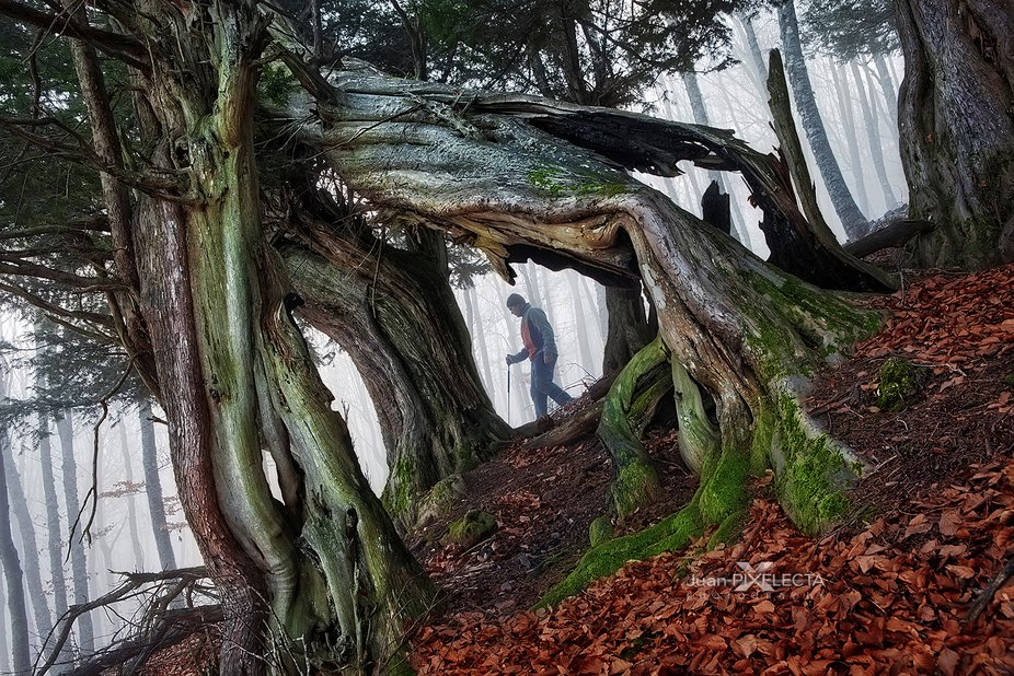 """""""WALKING AMONG MILLENNIAL TREES"""" It is the forest of Tosande, in the Palentina ..."""
