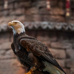 Hope is a captive bald eagle at Disney's Animal Kingdom