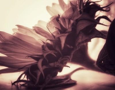 Sunflower in sepia