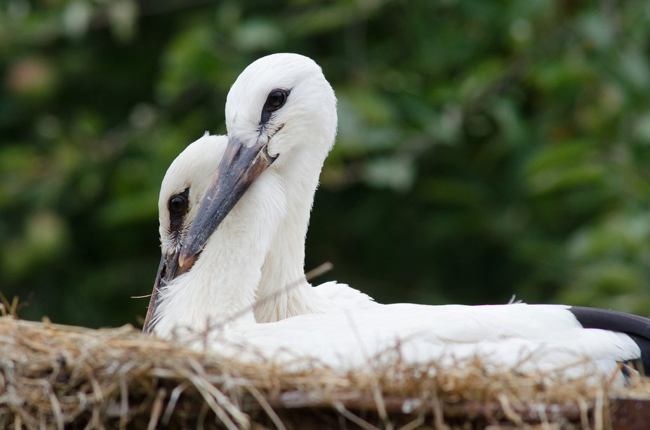 A pair of juvenile White Storks cuddling together in the nest.  Nikon D7000; AF Nikkor 300mm F4