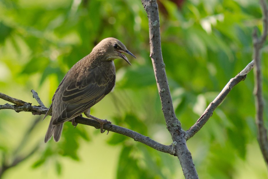 A juvenile European Starling, captured at the Lachine Rapids Park.  Nikon D7000; AF Nikkor 300mm F4