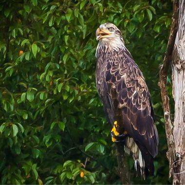 A juvenile Eagle on high