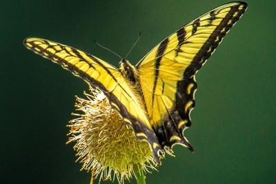 Yellow Butterfly Macro