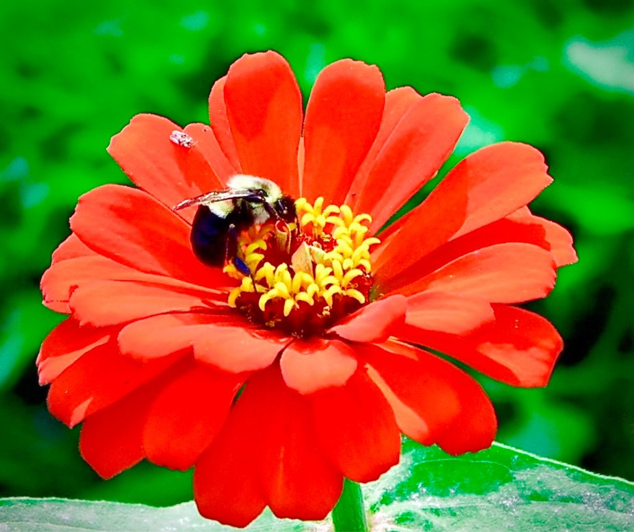 """The Dahlia and the Bumblebee"""