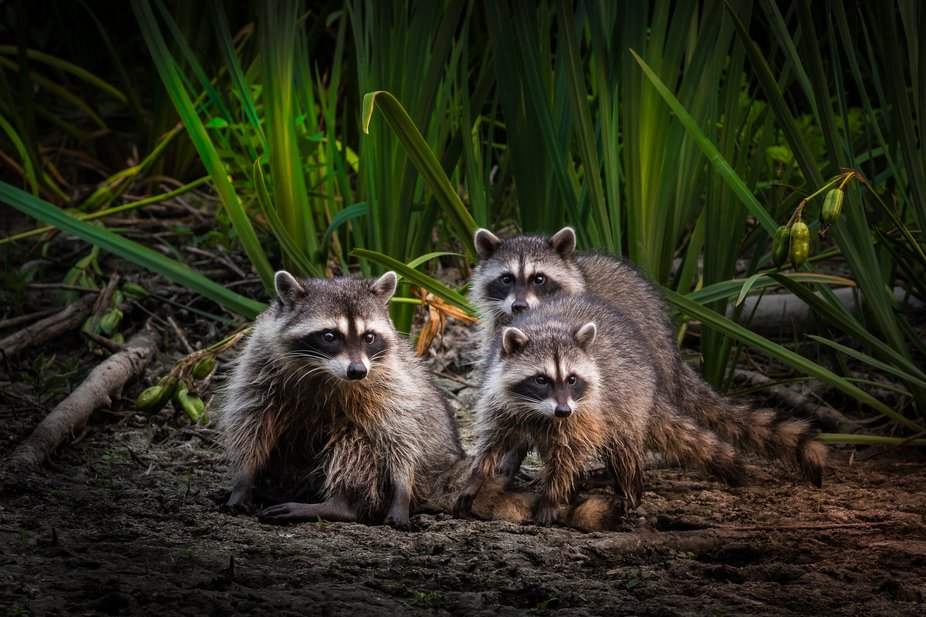 A mother raccoon with her to young ones playing around ini the mud before heading into the grasses