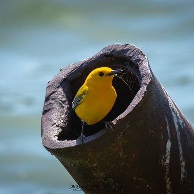 A Prothonotary Warbler nesting in an old pipe at Wyandotte Co Lake. .#bestb