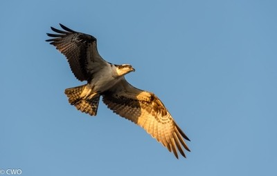 Osprey on the Prowl