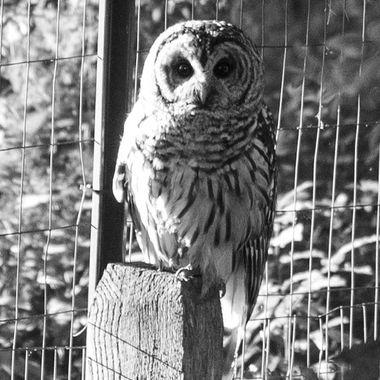 Barred Owl, Darnestown, MD. Summer, 2018DSC_1645